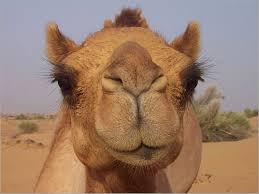 ��� ����� camel_cry_1_130907.j