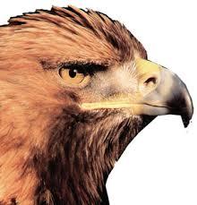 الصقر طائر ليس له مثيل Sak1