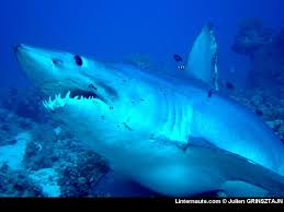 requin%2520mako