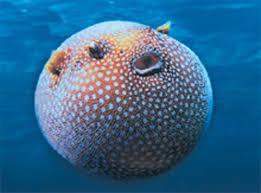 cibo02am8 Valle di Fiemme – Scoperta nuova specie ittica nel lago di Lagorai. Mercoledì 1 aprile cerimonia a Predazzo.