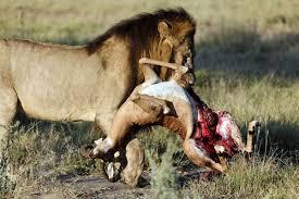 external image lion-carrying-impala-500.jpg
