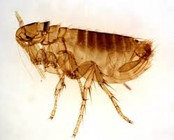 Common Flea