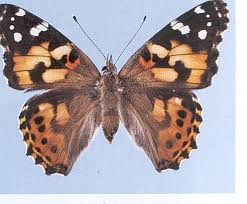 http://library.thinkquest.org/04oct/00587/butterflies.htm