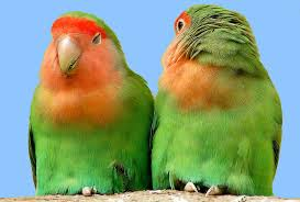 http://tbn0.google.com/images?q=tbn:3xo9CcqDw-3qfM:http://www.shoarns.com/Peach-faced%2520Lovebird%2520small%2520for%2520web.JPG