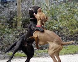 http://tbn0.google.com/images?q=tbn:5YS-YkbOOiImCM:http://www.news.com/i/bto/20070723/dogs-fighting.jpg