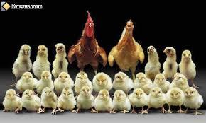 photo de famille du coq