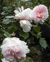 ������ ���� ���� Rose Blairi number two.jpg