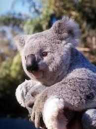 external image 4783_a_koala.jpg