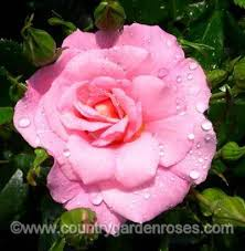 ������ ���� ���� name your own rose.jpg