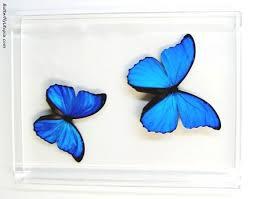 348C_blue_morpho_butterflies.jpg