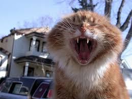yawning_big_cat.jpg