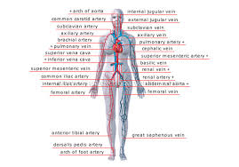 http://visual.merriam-webster.com/human-being/anatomy/blood-circulation/principal-veins-arteries.php