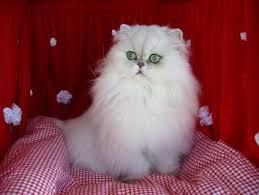 Mèo Ba Tư - Persia Cat