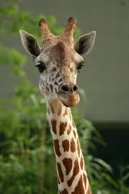 external image giraffe.png
