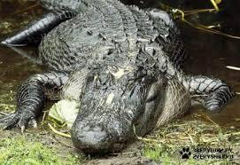 Австралиец подстрелил товарища в пасти крокодила