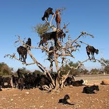 فوائد زيت الاركان........ المغربى رووعة argan%20tree%20g