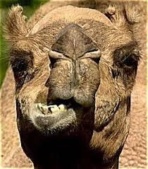 морда верблюда 1