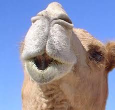 морда верблюда 2
