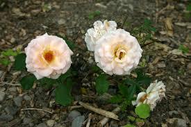 ������ ���� ���� rose07072005B.jpg
