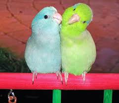 http://tbn0.google.com/images?q=tbn:D_Ine34x3ByLpM:http://www.parrotchronicles.com/2006/yourbirds/parrotlets_yourbirds_novdec2006.jpg