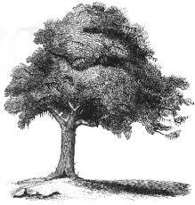 עץ חרוב דף צביעה