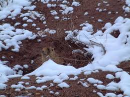 external image utah-prairie-dog2.jpg