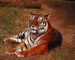 external image tiger.JPG