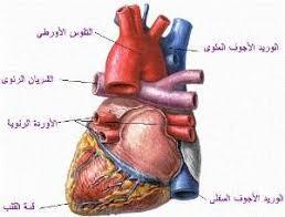 http://tbn0.google.com/images?q=tbn:FQyMfZup3IPdWM:http://www.sehha.com/diseases/cvs/thm_heart1.jpg