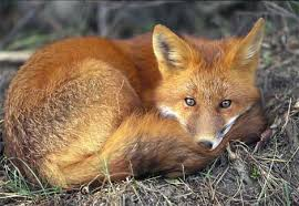 external image red-fox-sleeping.jpg