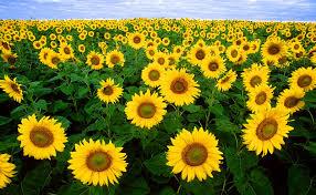 http://commons.wikimedia.org/wiki/Image:Sunflowers.jpg