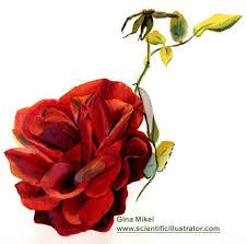 ������ ���� ���� rose.jpg