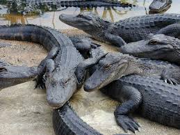 التماسيح crocodiles.jpg