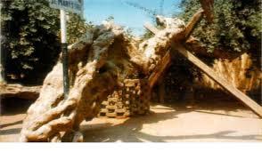 شجرة مريم بالمطرية Get-3-2009-yywgms3w