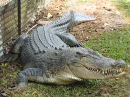 التماسيح crocodile.png