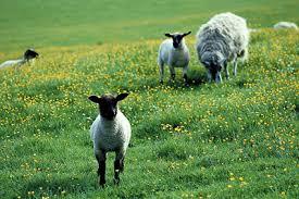 עדר כבשים באחו