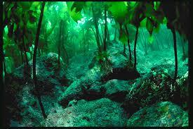 A Tropical ocean Kelp forest