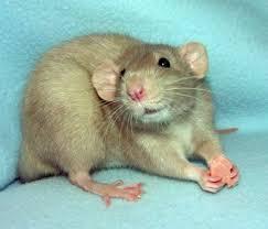 Крысы остановили лифты в Бресте