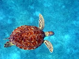 external image turtle-swim-4.jpg