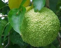 Maclura pomifera מקרולה פרי המזכיר מוח