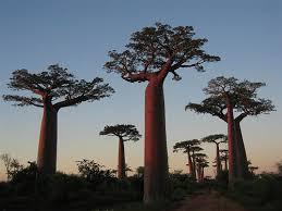 לא אצלנו,...baobab עצי הבאובב המופלאים בעולם