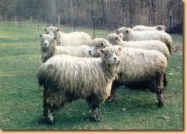 external image links_sheep.jpg