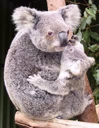 http://www.mossysanimals.blogspot.com/2007/04/koalas-future.html