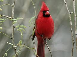 photo cardinal rouge
