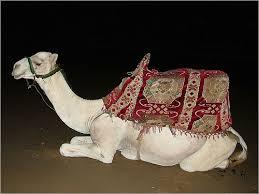��� ����� camel1.jpg