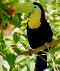 http://tbn0.google.com/images?q=tbn:OiGkqus1NmlC1M:http://www.wildernessclassroom.com/www/schoolhouse/rainforest_library/animal_images/toucan.jpg