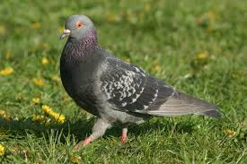 photo pigeon biset
