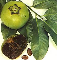 Black Sapote, or Chocolate Pudding Fruit