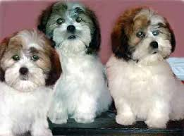 http://tbn0.google.com/images?q=tbn:OxfkzQF2_z4gkM:http://www.pups4sale.co.nz/lhasa_apso_01_puppies_for_sale.jpg