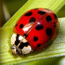 http://www.allergizer.com/50226711/dealing_with_ladybug_allergies.php