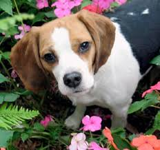 http://gotpetsonline.com/pictures/gallery/dogs/alphabetically/beagles/beagle-0036